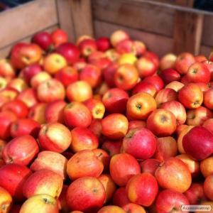 Куплю яблоки разных сортов. Оптом, за наличные. Самовывоз.
