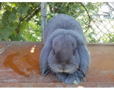 Кролики Французский баран Гавана Голубые Серебристые Мадагаскар