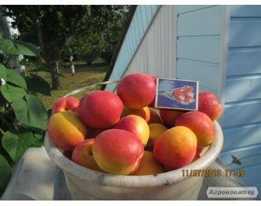 Саджанці абрикоса, сорт