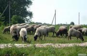 Вівці романівської породи