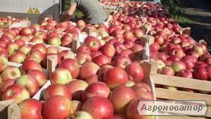 Продам яблука оптом і в роздріб