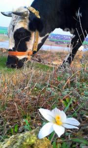 Продаж корови