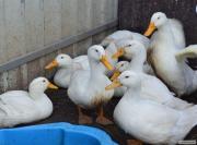 Продам качок живою вагою