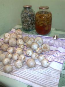 Продам свежие, сушеные и настойку из грибов Веселка