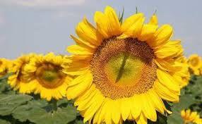 Насіння соняшнику Форвард