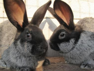 Продам кроликів мясної породи Полтавське сереб