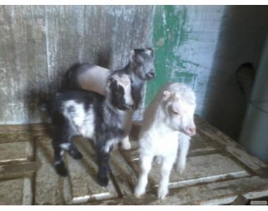 ТЕРМІНОВО! Продам Зааненських красивих козенят