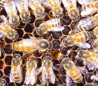 Пчеломатки (бджоломатки)