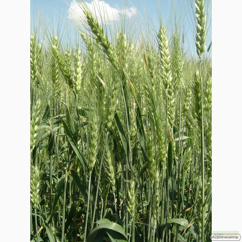 Насіння озимої пшениці - сорт Антонівка.Еліта та 1 репродукція
