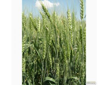 Семена пшеницы озимой - сорт Антоновка.Элита и 1 репродукция
