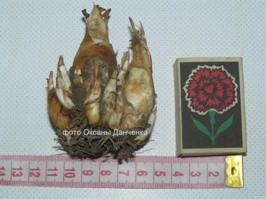 Тубероза (полиантес) - распродажа