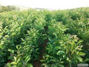 Орех грецкий(тонкошкірий,урожайный)