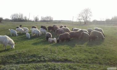 Продам шикарную отару овец