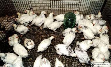 Продам цыплят Кучинская юбилейная