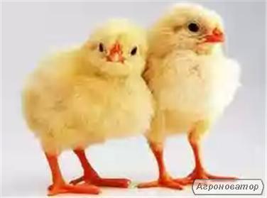 Продам добові курчата Іспанка (голошийка), Мастер Грей, Росс-308