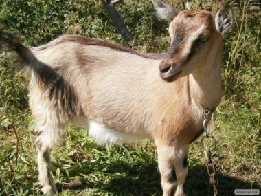 Козенята 3.5 місяців від высокомолочной домашньої кози