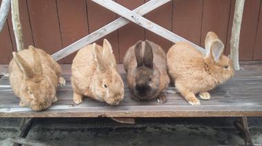 Продаются кролики Бургундской породы и Строкачи