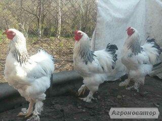 Продам петухов породы Брама (или обменяю на кур) !!!
