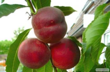 Саженцы персика сорта Рич Мэй, от производителя