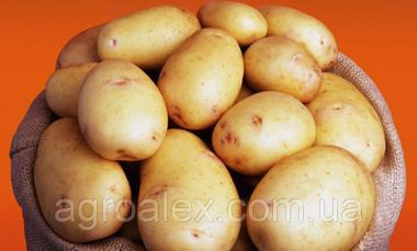 Банба купити насіннєву картоплю 1р
