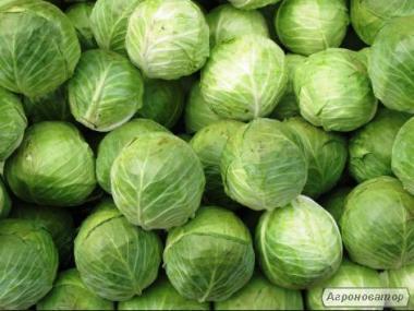 Продам від фермера капусту Агресор по оптовим мінімальними цінами