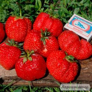 продам розсаду полуниці Альба, Азія, Пегас, та ін