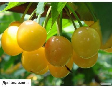Саженцы черешни сорта Дрогана Желтая, от производителя