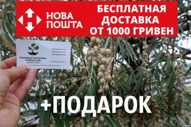 Семена дикой маслины (50 штук) лох серебристый косточка для саженцев