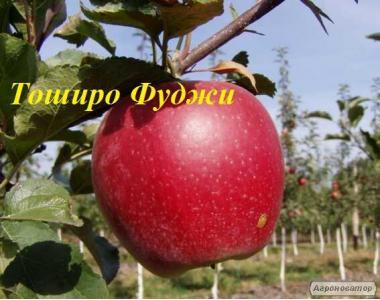 Саженцы яблони сорта Тоширо Фуджи, от производителя