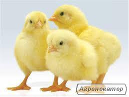 Суточные цыплята Ross 308