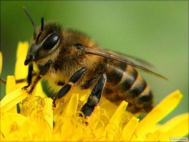 Продам пчелопакеты, карпатская порода, своя пасека,