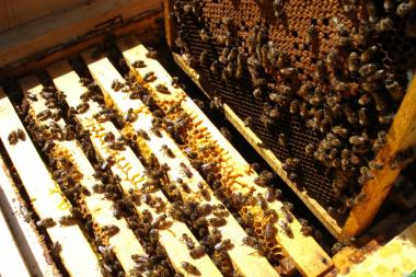 Бджолосім'ї, бджолопакети