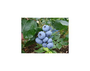 Лохина «Бонус (Bonus Blueberry), 4-річна