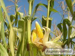 кукурудзу 2016 р