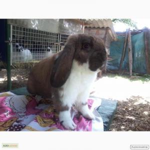 Чистокровні привиті кроленята породи французький баран