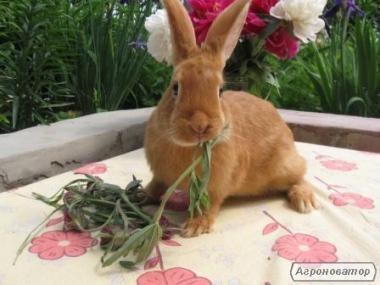 Продам породистих кроликів-скороспілок (Бургундці, Віденські блакитні)