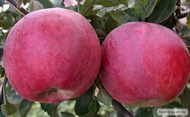 Саджанці яблуні сорту Бені Шогун від виробника