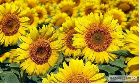 насіння соняшнику - Барса