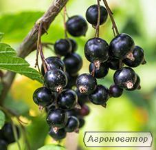 Продам ягоды черной смородины 40 тонн, Смородина черная,
