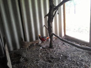 фазани