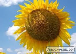 семена подсолнечника HC СУМО