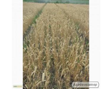 Насіння озимої пшениці - сорт Трипільська. Еліта та 1 репродукція