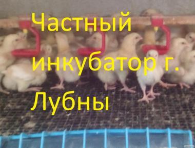 Курчата бройлера КОББ 500