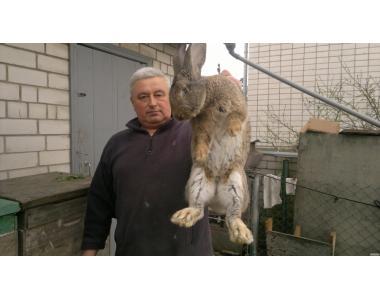 кролики серый великан полтавское серебро