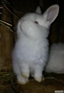 Продам кроликов породы НЗБ(Новозеладские Белые)разных возрастов..Кроли