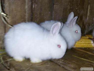 Продам кролів породи НЗБ(Новозеладскіе Білі)різних віків..Кролі