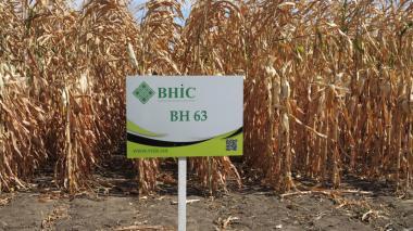 Семена кукурузы ВН 63 (ФАО 280) напрямую от производителя