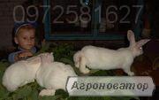 Молодняк кролики - бройлеры Термон-Белый Европейской селекции.