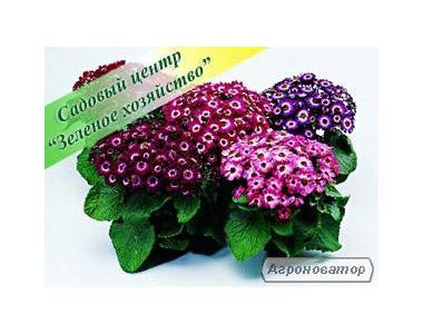 Цинерария, оптом, садовый центр, Киев, цветы к 8 Марта