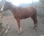 Продам кобилу і лошицю, а також коня.